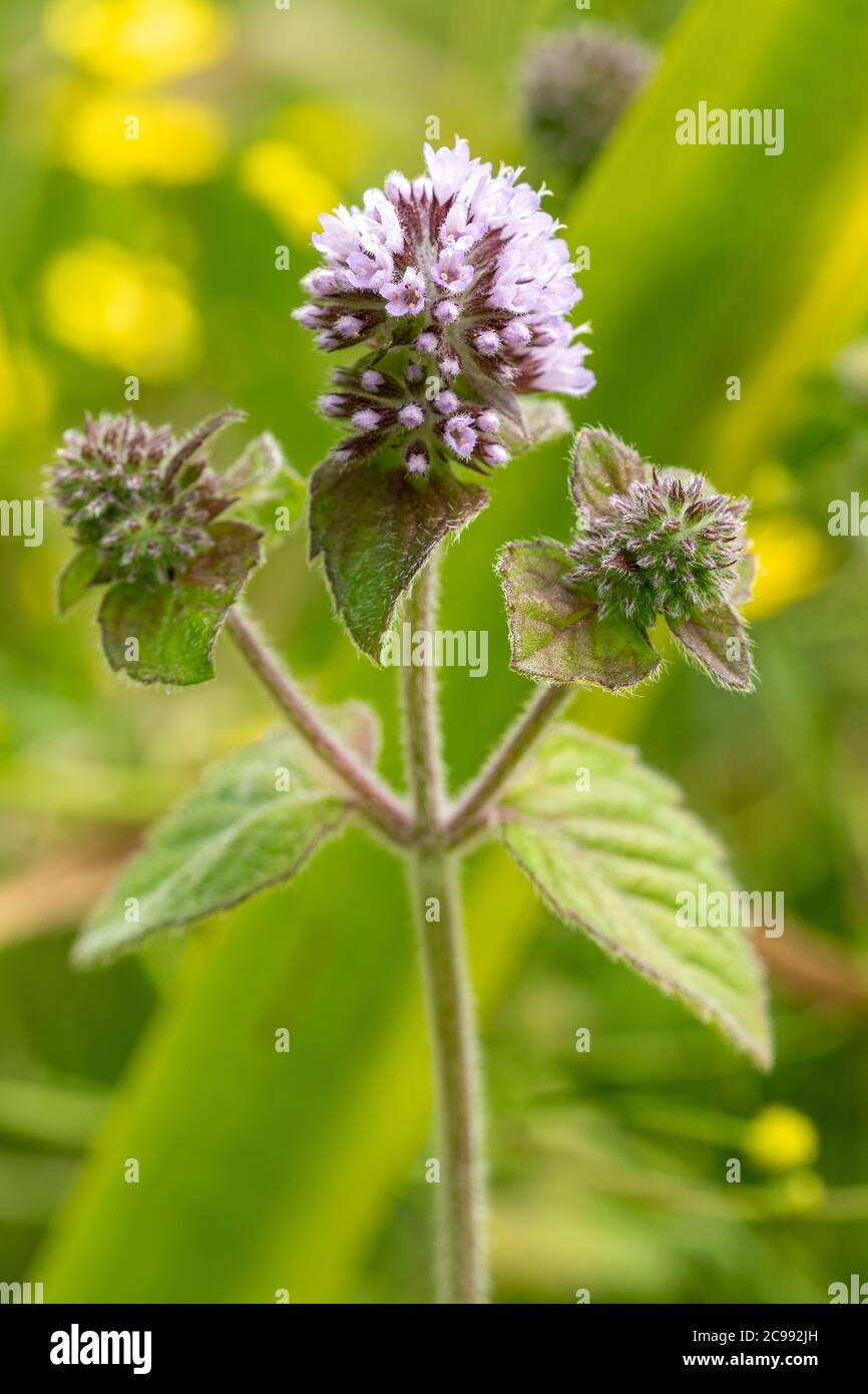Water mint (Mentha aquatica), a flowering plant growing in a moist  pond edge area, UK Stock Photo