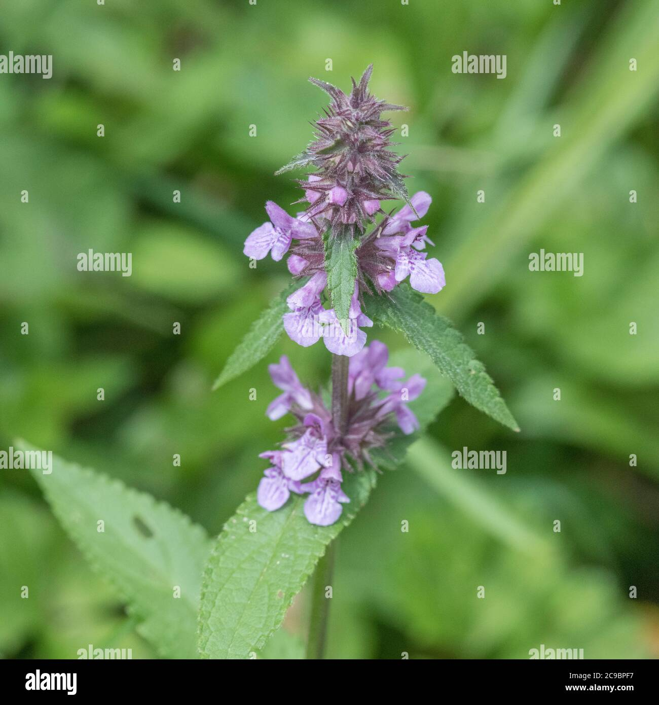Leaves and purple flowers of Marsh Woundwort / Stachys palustris seen growing in damp field corner. Former medicinal plant used in herbal remedies. Stock Photo