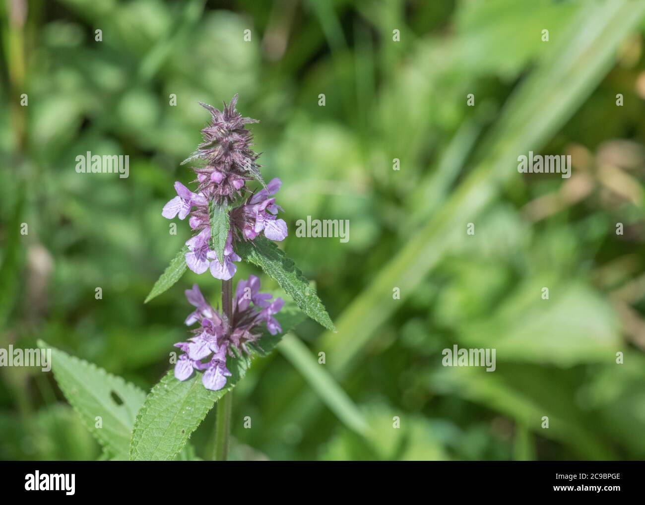 Leaves and purple flowers of Marsh Woundwort / Stachys palustris seen growing in damp field corner. Former medicinal plant used in herbal remedies. Stock Photo