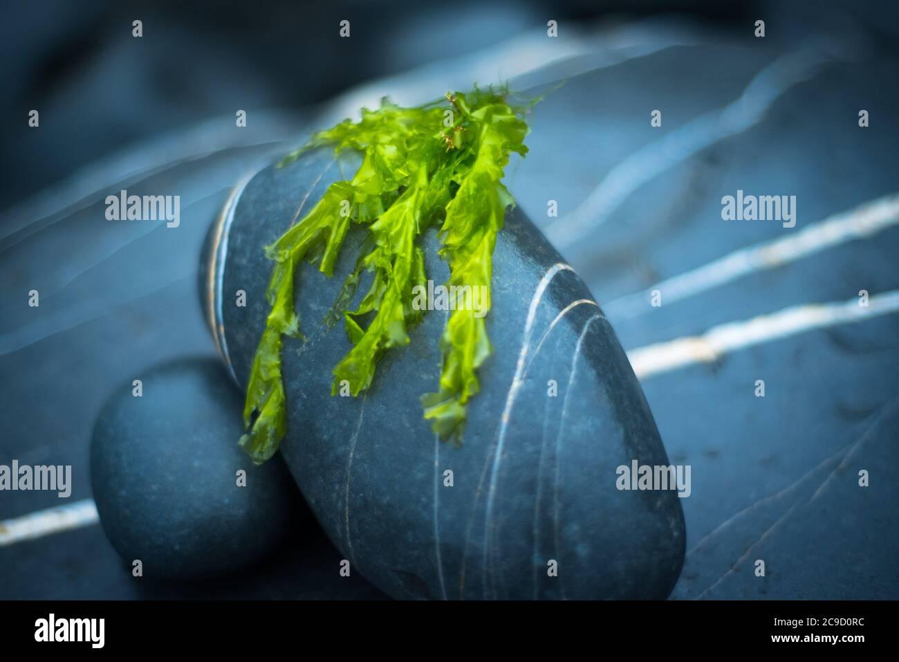 Sea lettuce (Ulva Lactuca), Devon UK Stock Photo