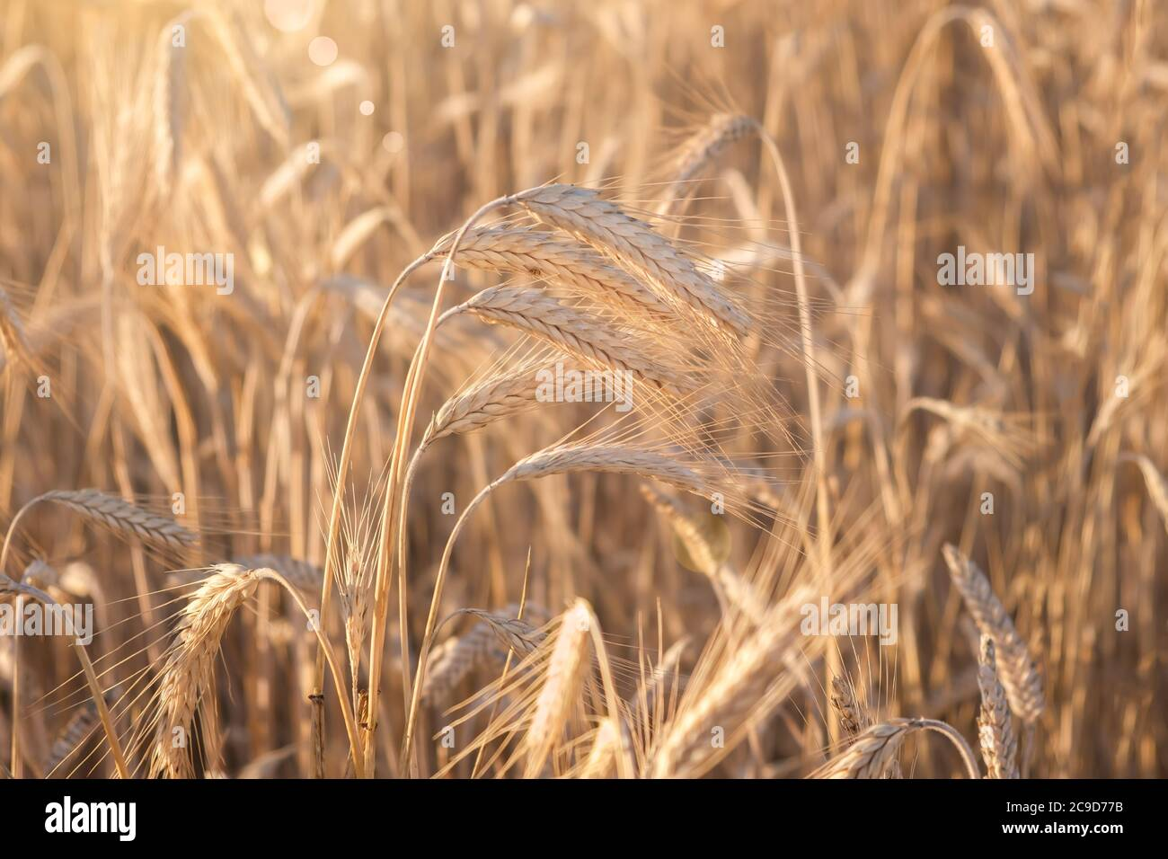 Wheat field. Ears of golden wheat close up. Beautiful Nature Sunset Landscape. Rural Scenery under Shining Sunlight. Background of ripening ears of wh Stock Photo