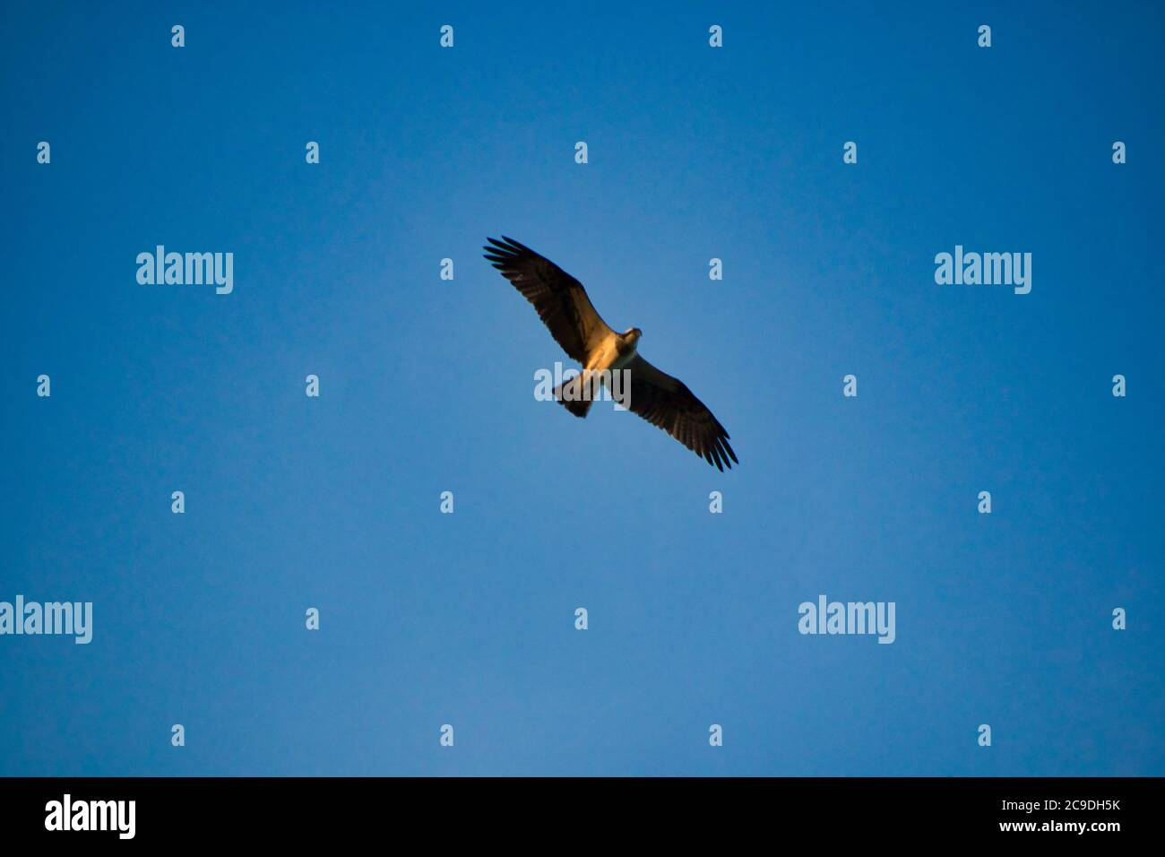 a sea eagle flying over the lake in sweden Stock Photo
