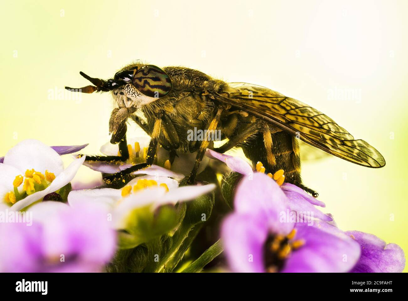 Common Horse Fly or Notch-horned Cleg Fly. Her Latin name is Haematopota pluvialis. Stock Photo