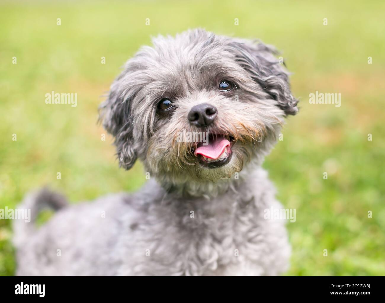 Shih Tzu Poodle High Resolution Stock Photography And Images Alamy