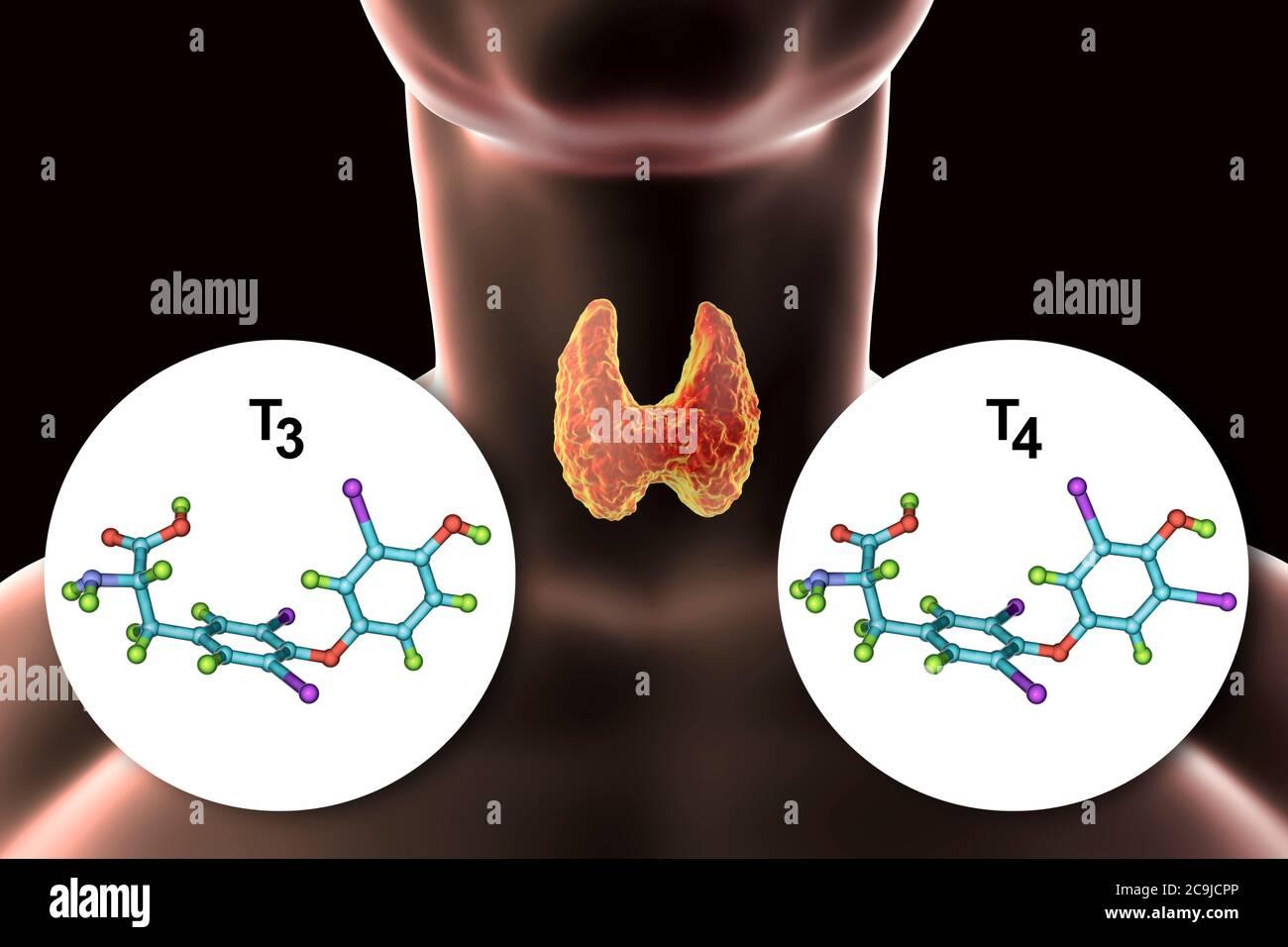 Molecules of thyroid hormones triiodothyronine (T3) and thyroxine (T4), computer illustration. Stock Photo