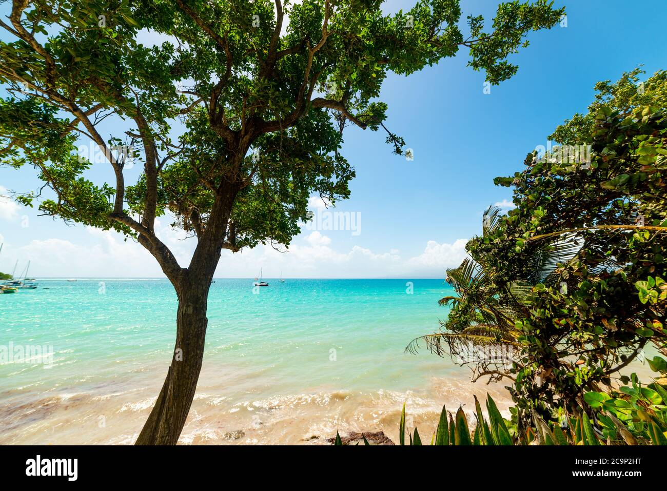 Trees by the sea in La Datcha beach in Guadeloupe, French west indies. Lesser Antilles, Caribbean sea Stock Photo