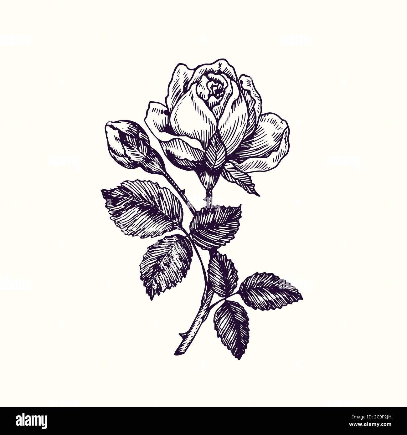 Rose Flower Stem With Thorns Leaves And Blosom Hand Drawn Doodle Drawing In Gravure Style Sketch Illustration Design Element Stock Photo Alamy