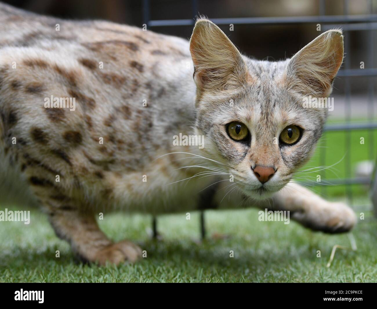 Fernwald Germany 10th July 2020 Savannah F1 Cat Nala Of The Breeder Sabine Haus And Angelo