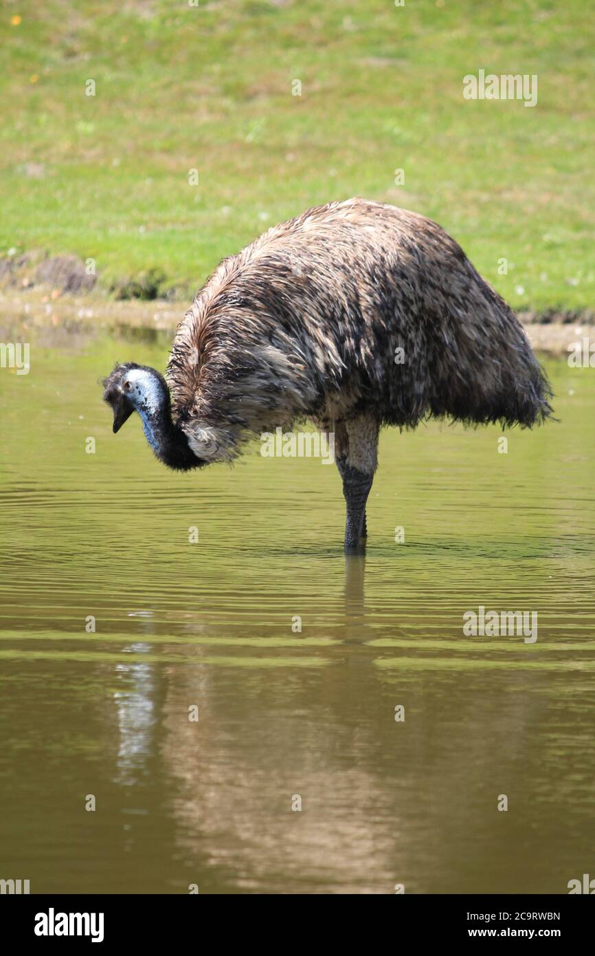 Emu in Overloon Zoo in the Netherlands Stock Photo