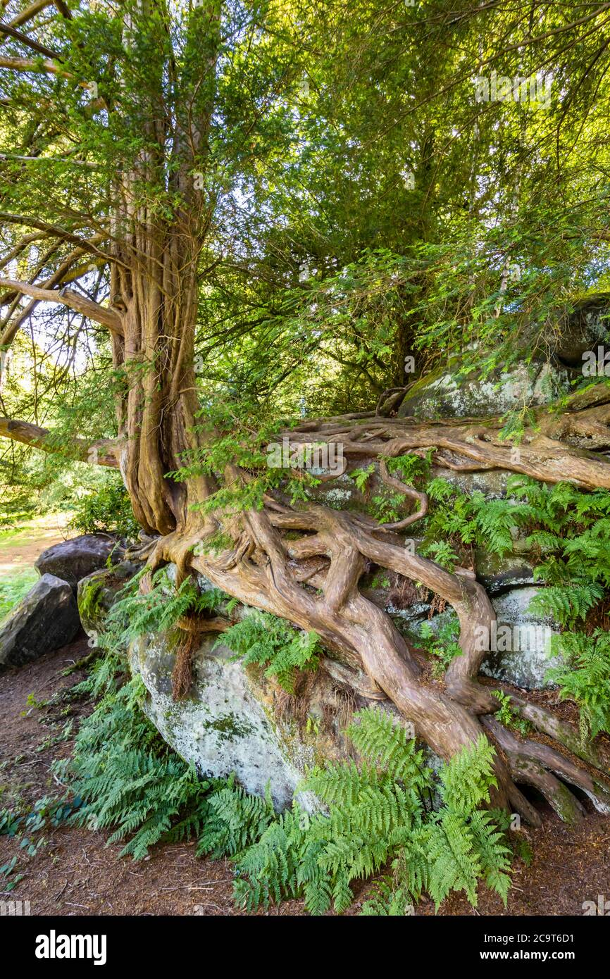 Ancient contorted yew (Taxus baccata) roots growing over rocks in Wakehurst, botanic gardens in West Sussex managed by the Royal Botanic Gardens, Kew Stock Photo