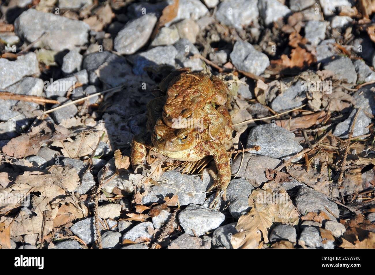 Common toad, European toad, Erdkröte, Bufo bufo, barna varangy Stock Photo