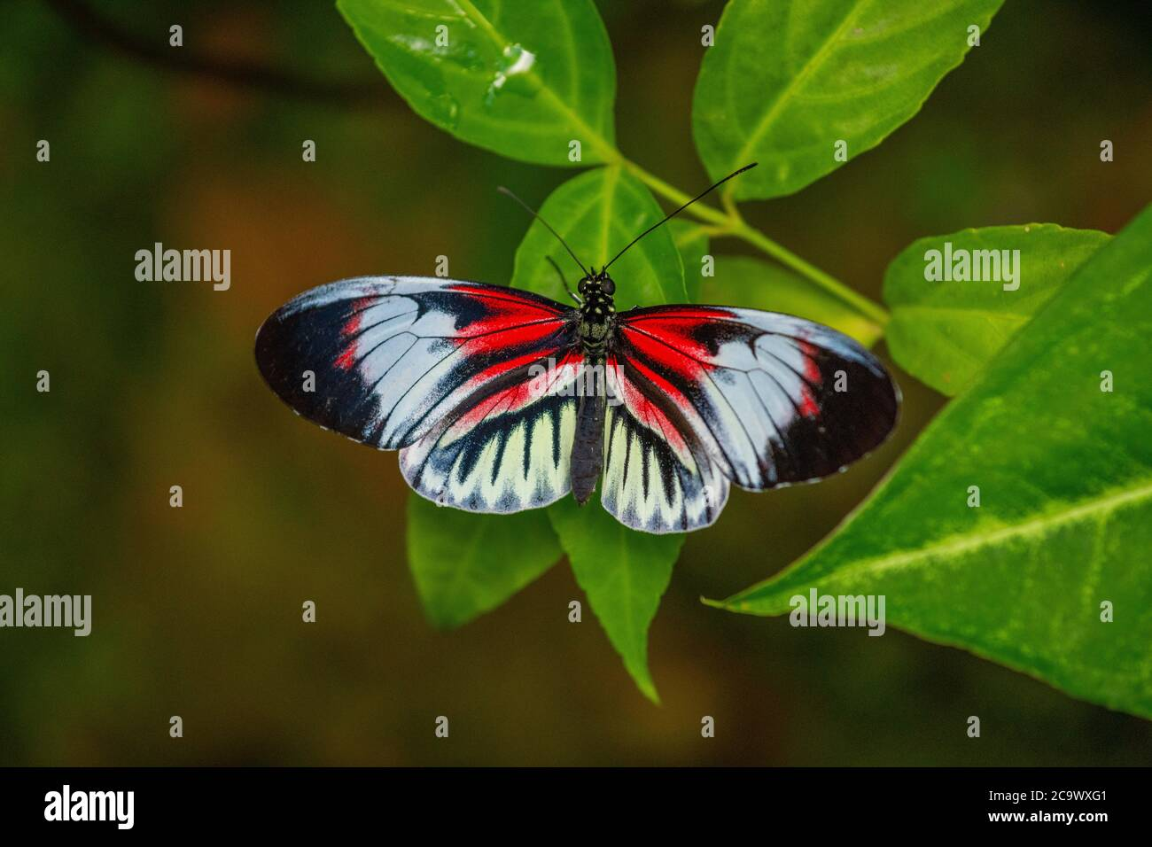 Piano Key Butterfly resting on a plant Stock Photo