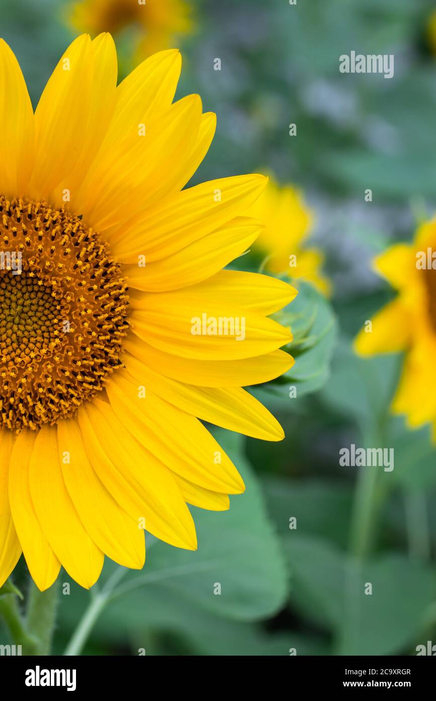 Half A Sunflower With Yellow Petals Floral Backgrounds Summer Wallpaper Field Of Bright Flowers Nature Scenery Stock Photo Alamy