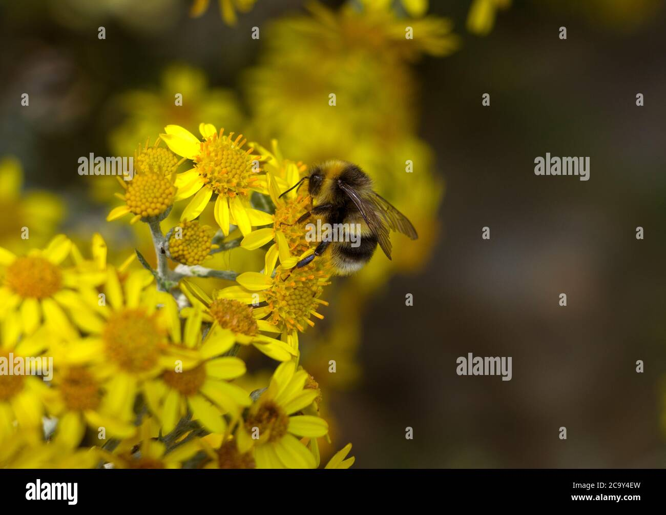 A White-tailed Bumble Bee collects pollen and nectar from the flowers of a Common Ragwort which assists with the plants pollination. Stock Photo