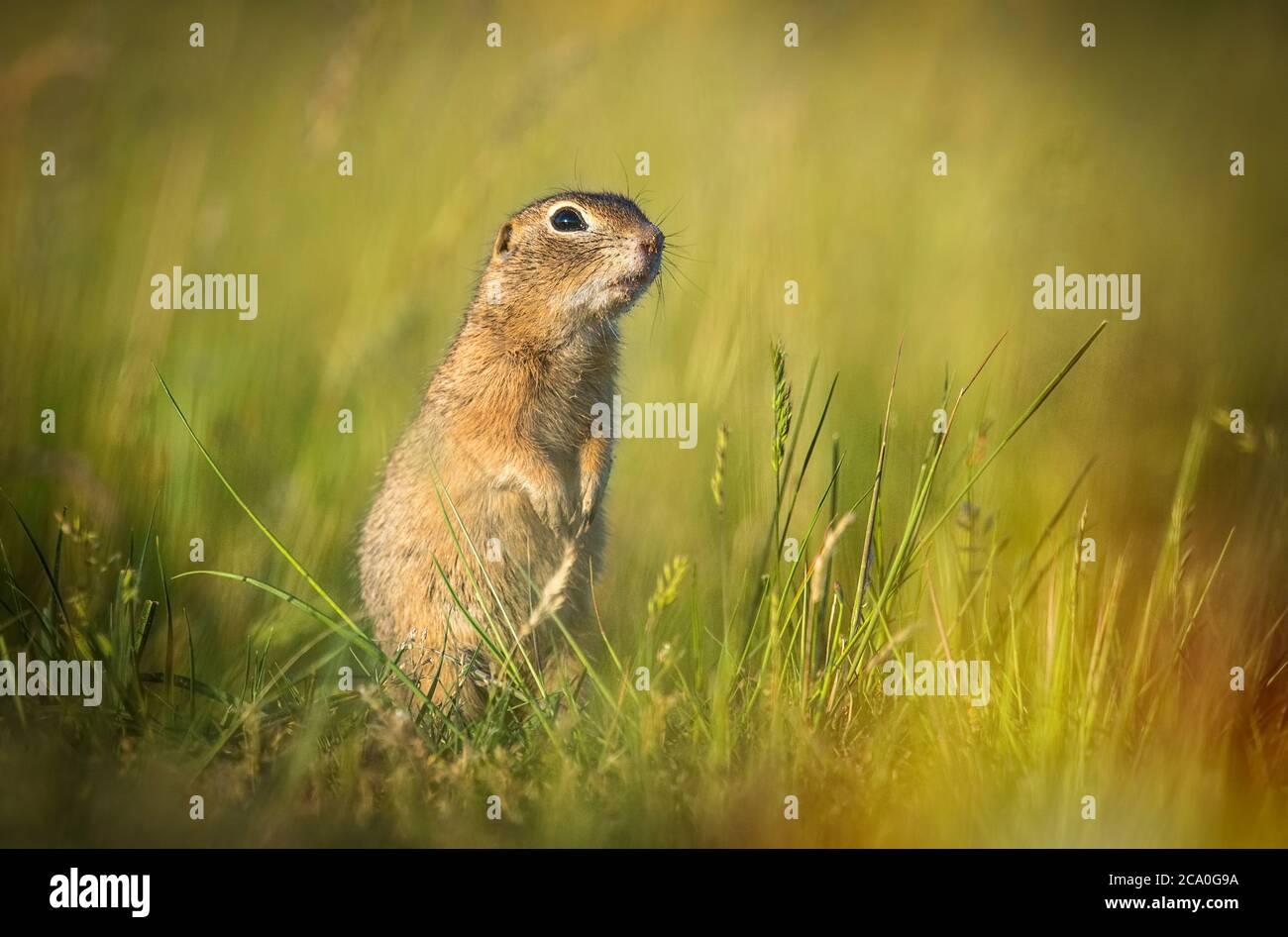 Sysel obecny Spermophilus citellus European ground squirrel Radouc Mlada Boleslav. Stock Photo