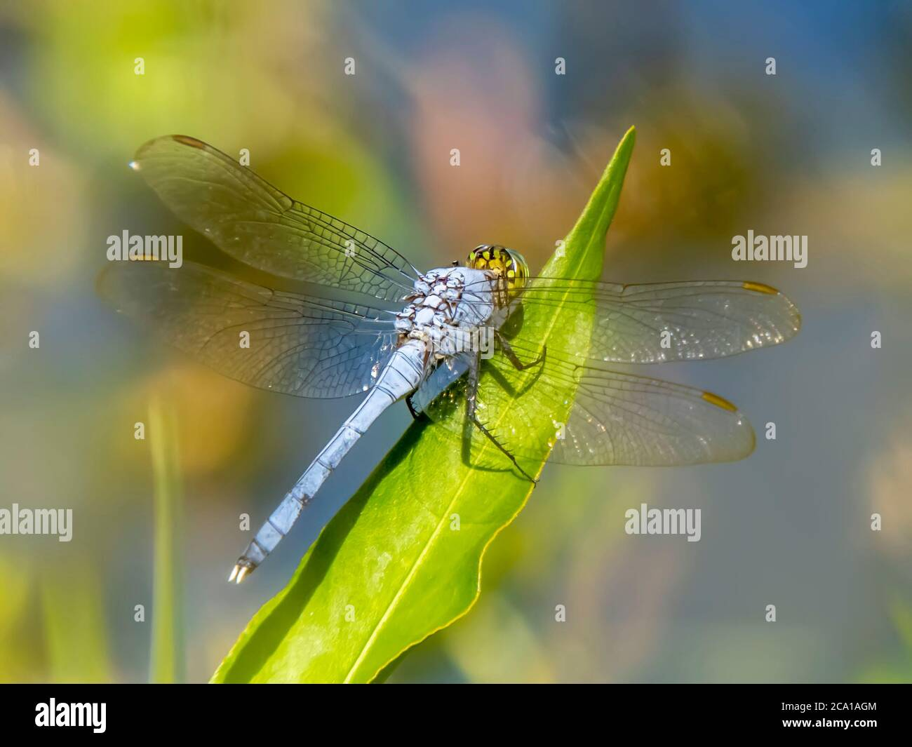 Close up of male Eastern or Common Pondhawk Dragonfly taken at Deer Prairie Creek Preserve in North Port Florida United States Stock Photo
