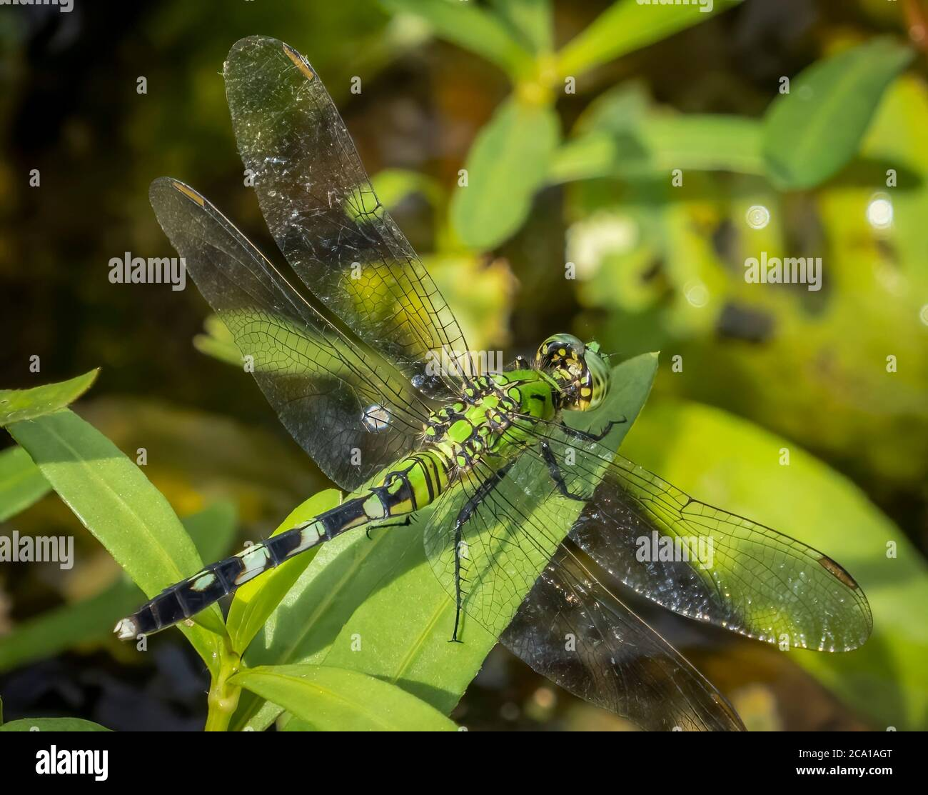 Close up of female Eastern or Common Pondhawk Dragonfly taken at Deer Prairie Creek Preserve in North Port Florida United States Stock Photo