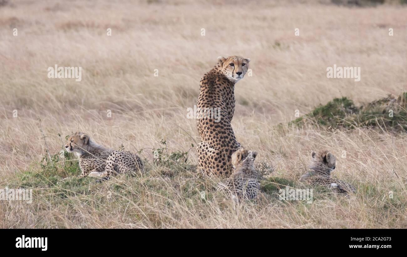 a rear view of a mother cheetah with three cubs at masai mara Stock Photo
