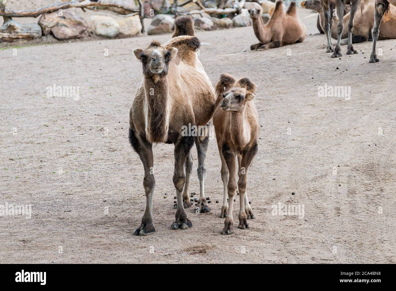 """A camel is an even-toed ungulate in the genus Camelus that bears distinctive fatty deposits known as """"humps"""" on its back. Stock Photo"""