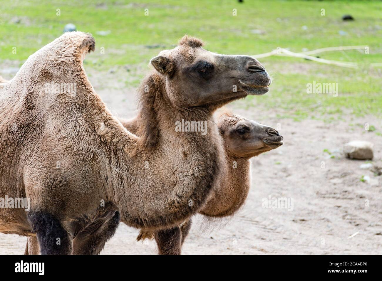 "A camel is an even-toed ungulate in the genus Camelus that bears distinctive fatty deposits known as ""humps"" on its back. Stock Photo"