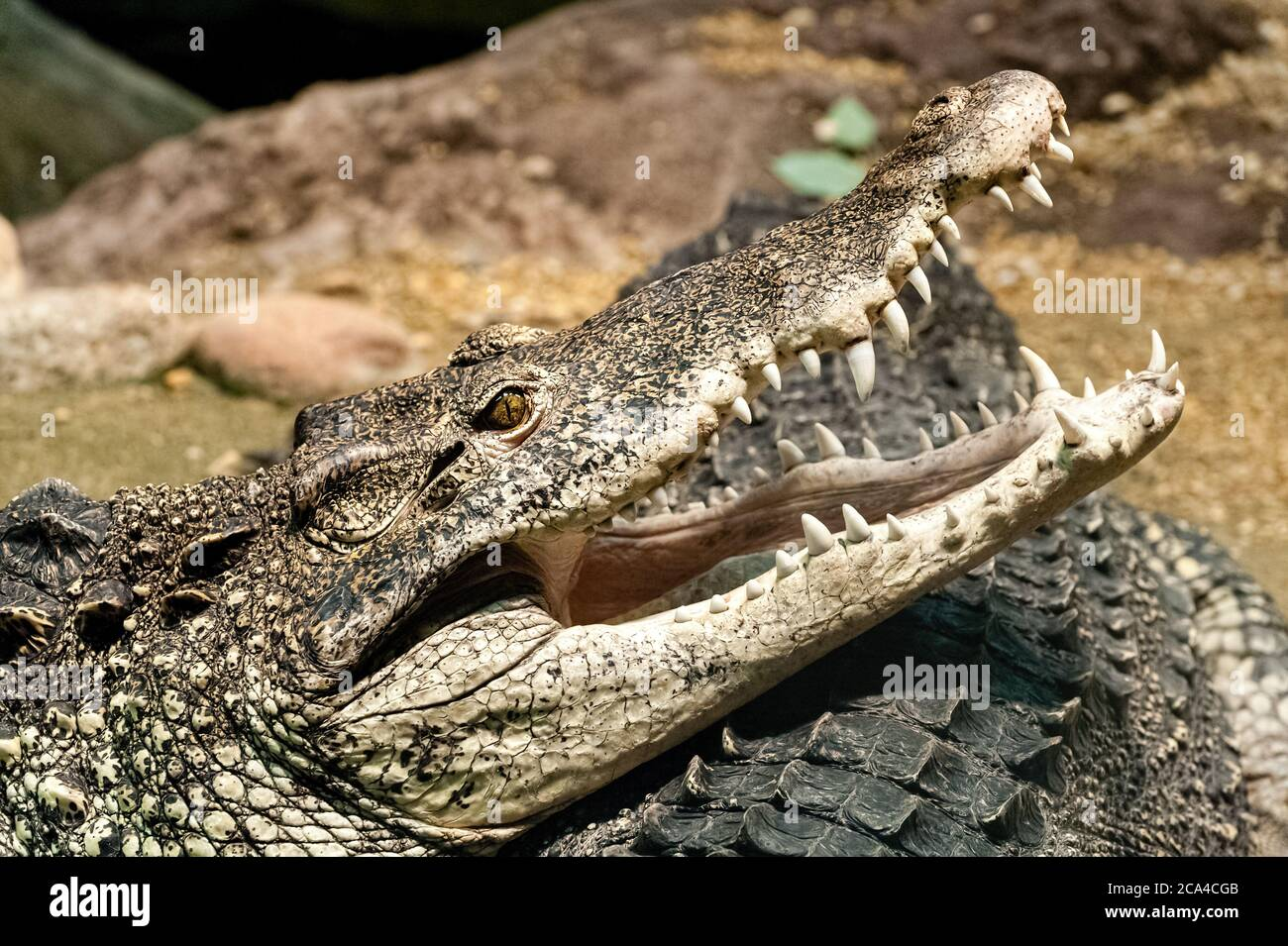 The Cuban crocodile (Crocodylus rhombifer) is a small species of crocodile found only in Cuba. Stock Photo