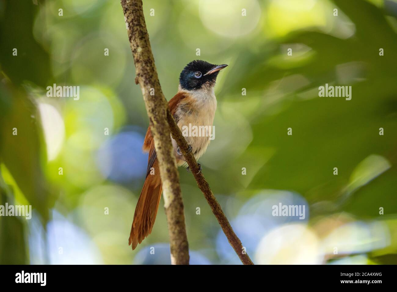 Seychelles Black Paradise Flycatcher; Terpsiphone corvina; Female; Seychelles Stock Photo
