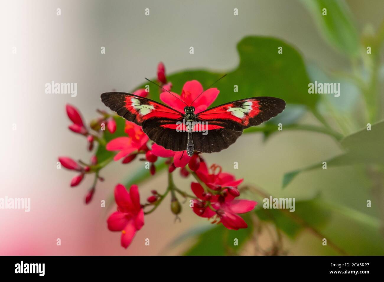 Piano Key Butterfly gathering nectar from a flower Stock Photo