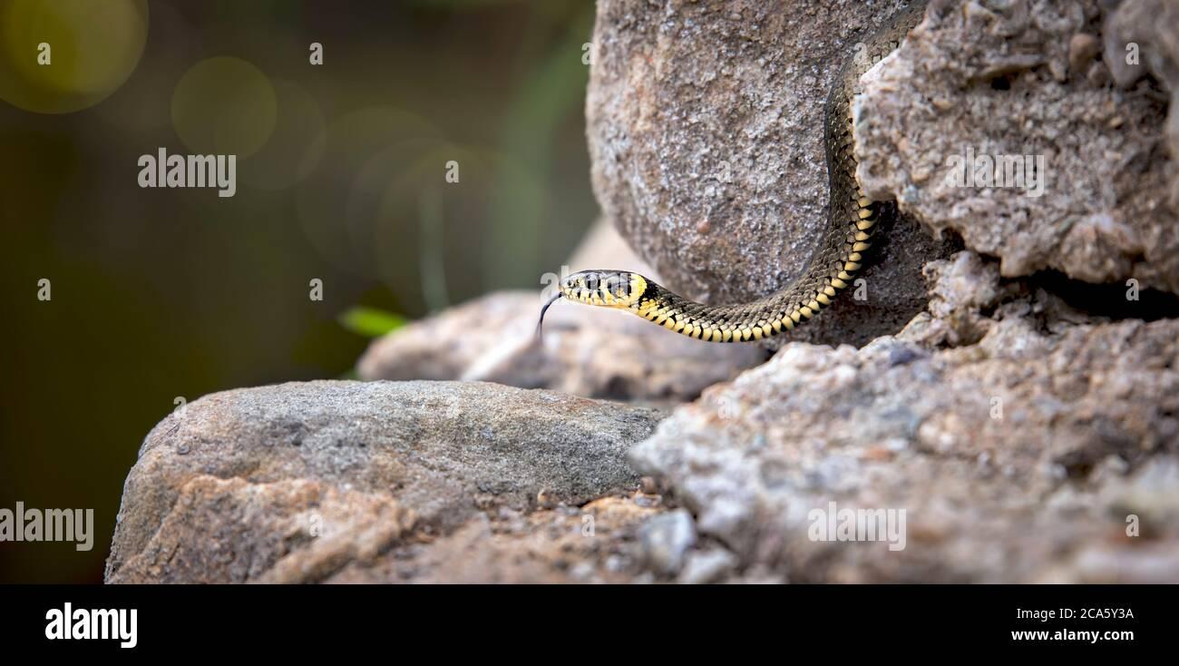 The grass snake Natrix natrix, snake crawls on a hot rock rock. Stock Photo