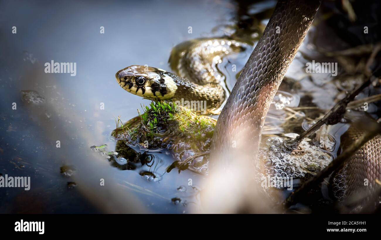 The grass snake Natrix natrix, The grass snake swims in the water, fishing for fish. Stock Photo