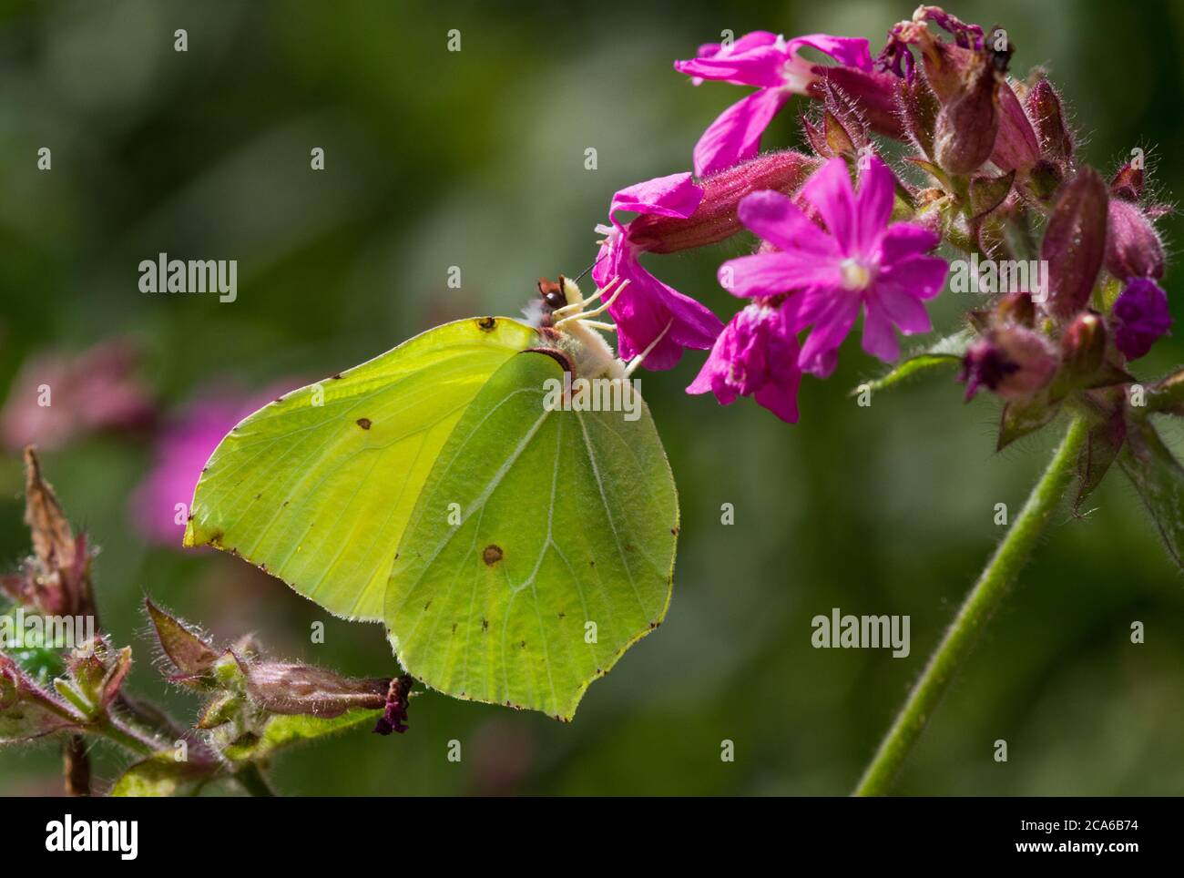 Common brimstone butterfly on the pink flower of Red campion Stock Photo