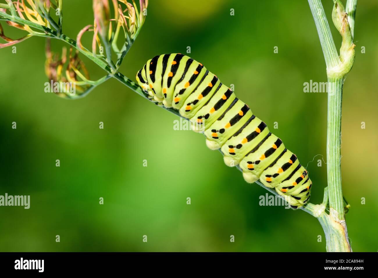 Swallowtail caterpillar (Papilio machaon). Swallowtail caterpillar on dill plant, on natural background. Stock Photo