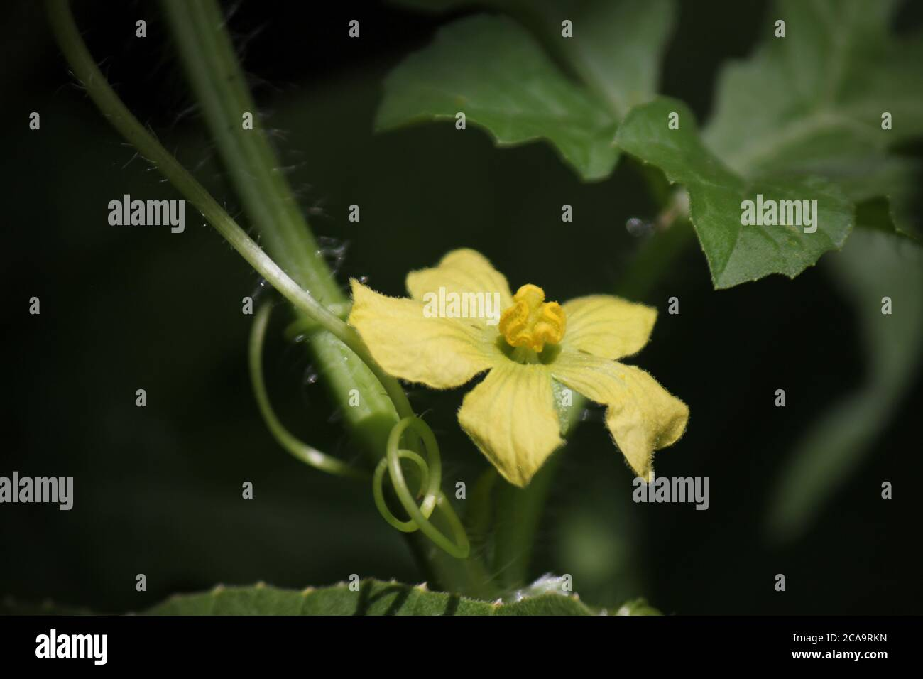 Backyard Organic Urban Gardening Of A Beautiful Yellow Cantaloupe Flower Stock Photo Alamy Cantaloupe was very popular and often cultivated in the ancient egypt. alamy
