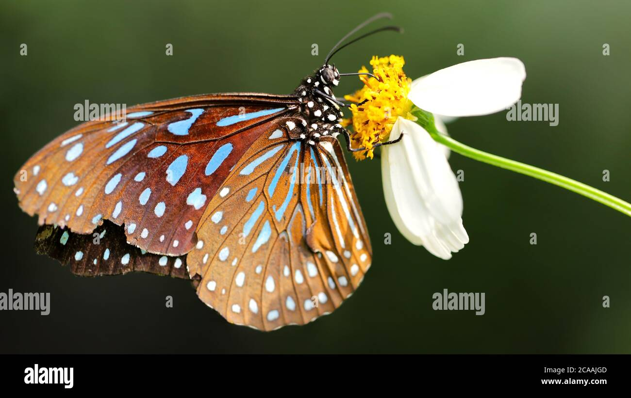 gracious brown and blue colorful butterfly looking for pollen on a white daisy flower, macro photography in a tropical botanical garden in Chiang Mai Stock Photo
