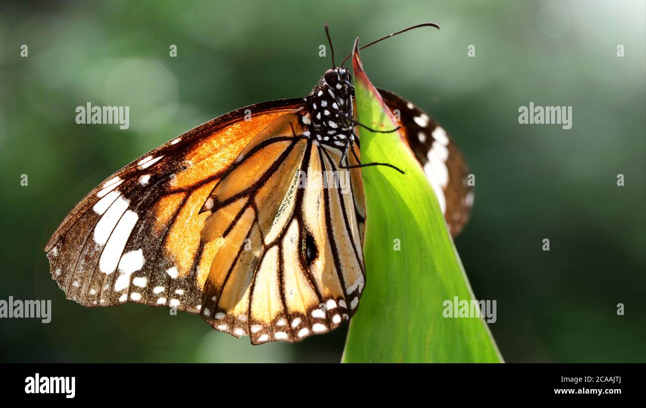 elegant orange monarch butterfly resting on a leaf. macro photography of this gracious and fragile Lepidoptera in a tropical botanical garden Stock Photo