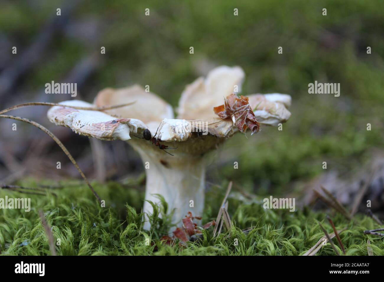 the brown cap of the mushroom is visible from the grass behind a stick a club mushrooms grow in the woods collecting mushrooms rest a mushroom of whit Stock Photo