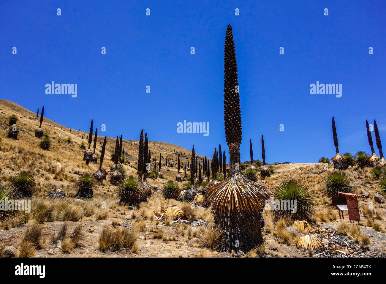 Beautiful view of the Puya Raimondii plants in the Andes, Peru Stock Photo