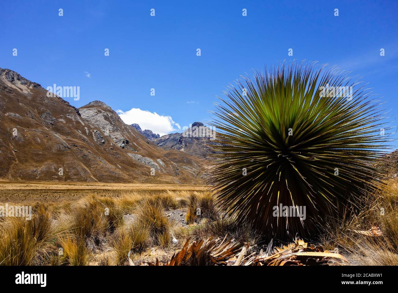 Beautiful view of the Puya Raimondii plant in the Andes, Peru Stock Photo