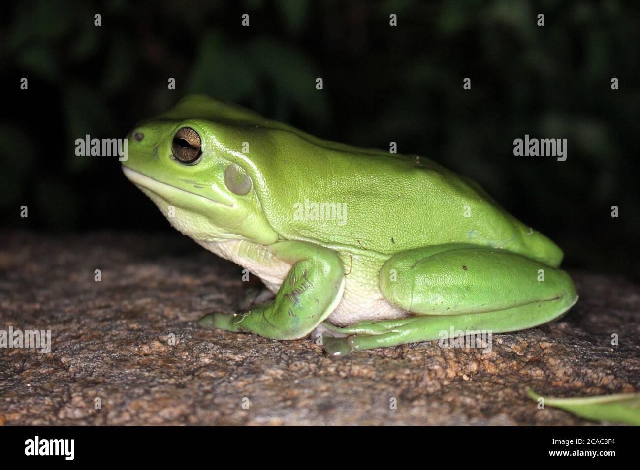 Australian Green Tree Frog at Night Stock Photo