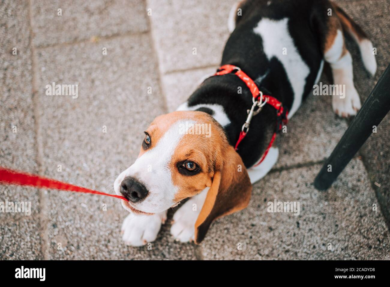 Young Beagle Puppy Playing With His Red Leash On Concrete Tiles Stock Photo Alamy
