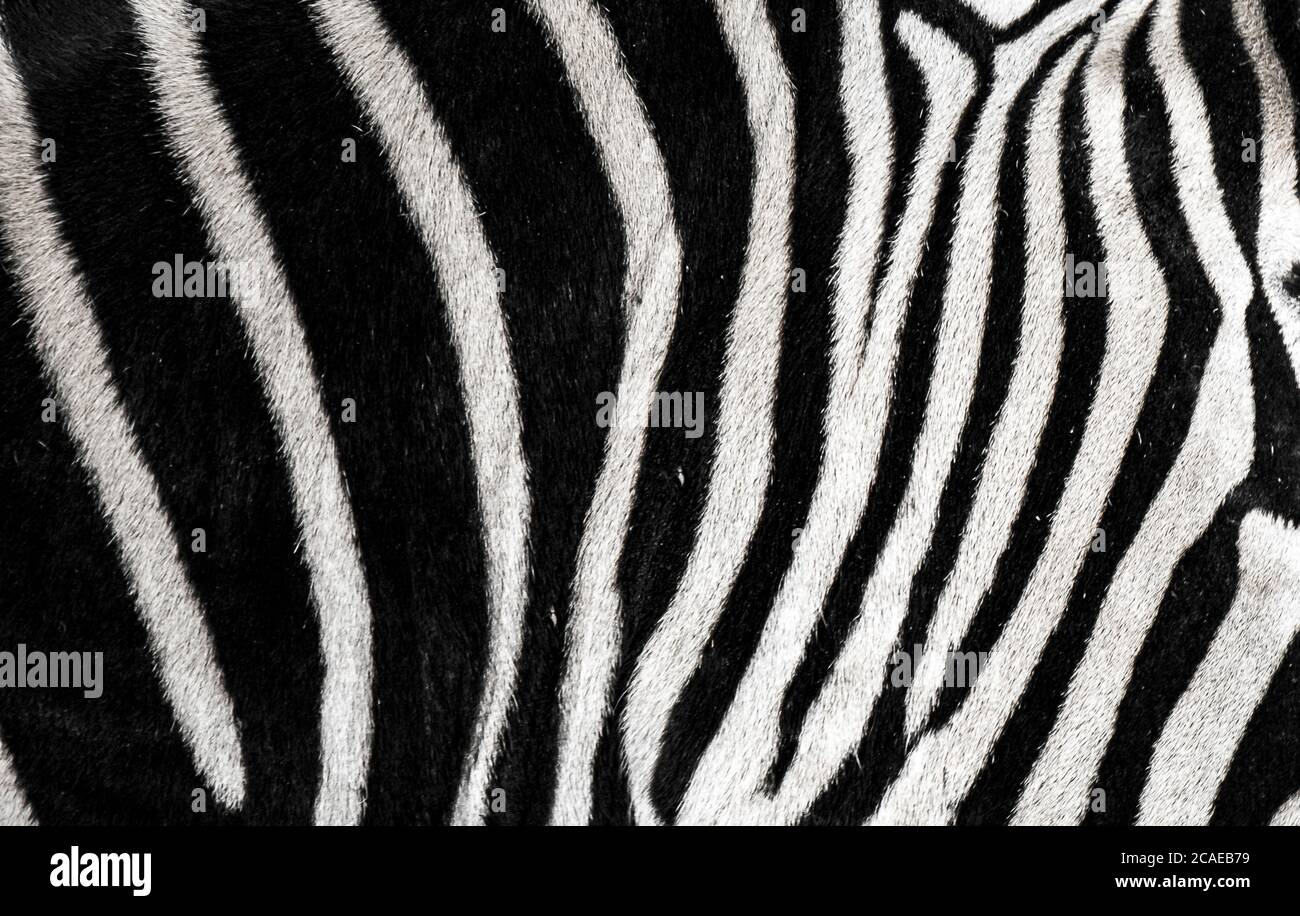 background which the structure of hide of zebra is represented on, the best photo Stock Photo