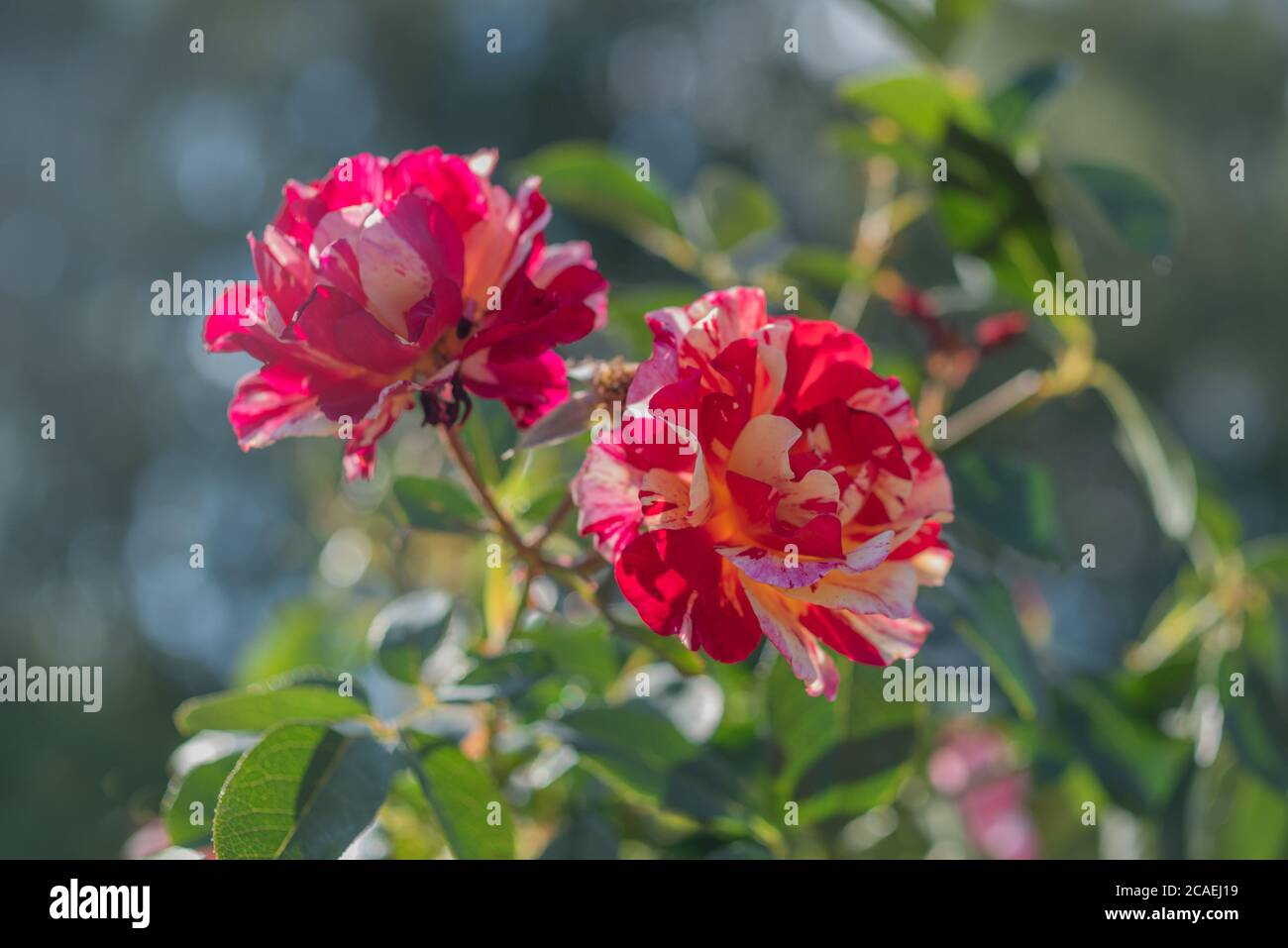 background, beautiful, beauty, bicolor, bicolor flower, bicolored, bloom, blooming, blossom, botanical, botany, branch, bright, bud, buds, bush, close Stock Photo