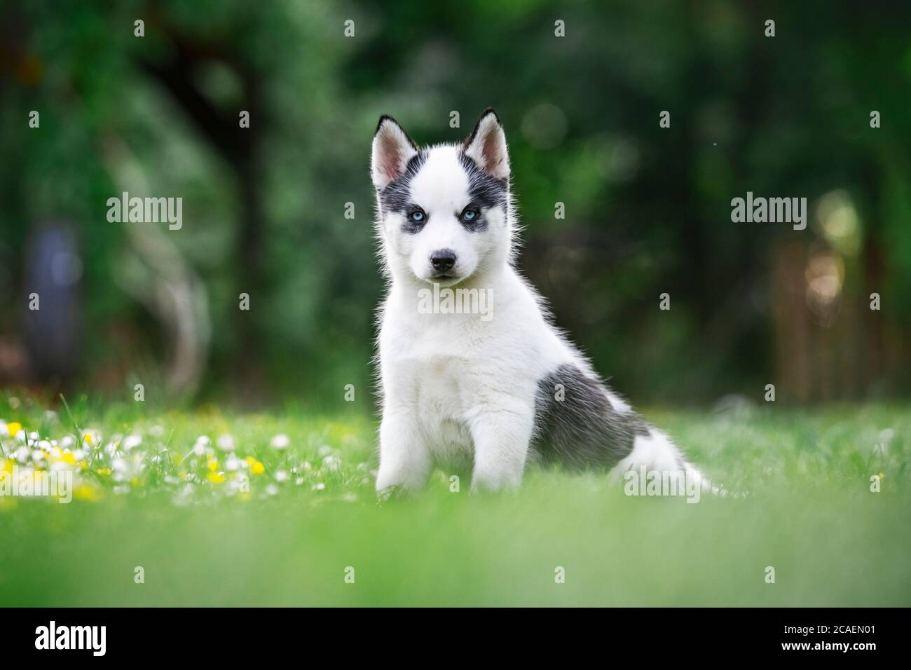 A small white dog puppy breed siberian husky with beautiful blue eyes in blooming spring garden. Dogs and pet photography Stock Photo