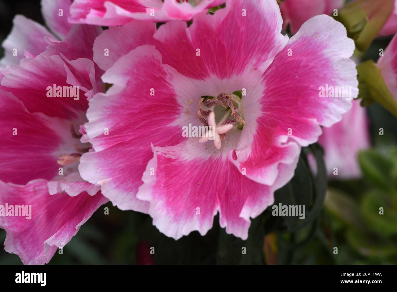 Clarkia High Resolution Stock Photography And Images Alamy
