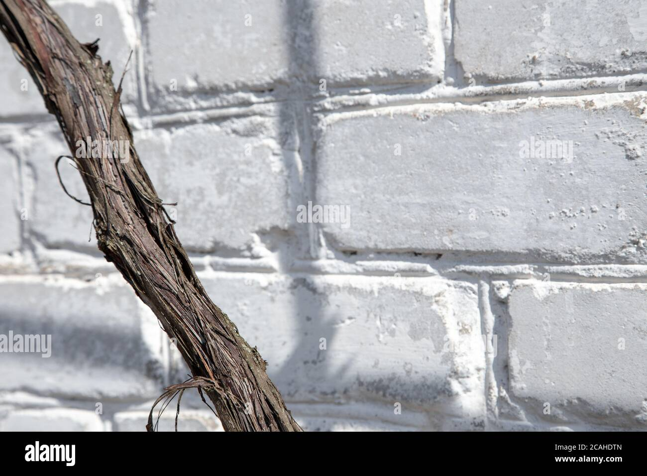 Close-up of vine trunk. Strain of old vineyard on white brick background Stock Photo