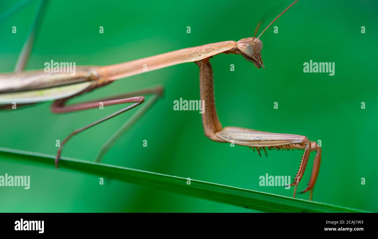 brown praying mantis on a leaf, slim and gracious insect but dreadful predator for the small ones. macro photo of the wildlife in the tropical jungle Stock Photo