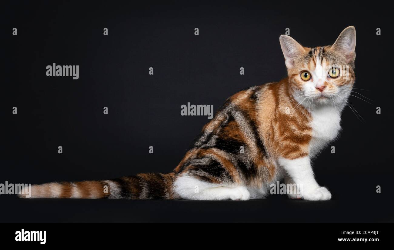 Pretty American Shorthair cat kitten with amazing pattern, sitting side ways. Looking beside camera with yellow eyes. Isolated on black background. Stock Photo