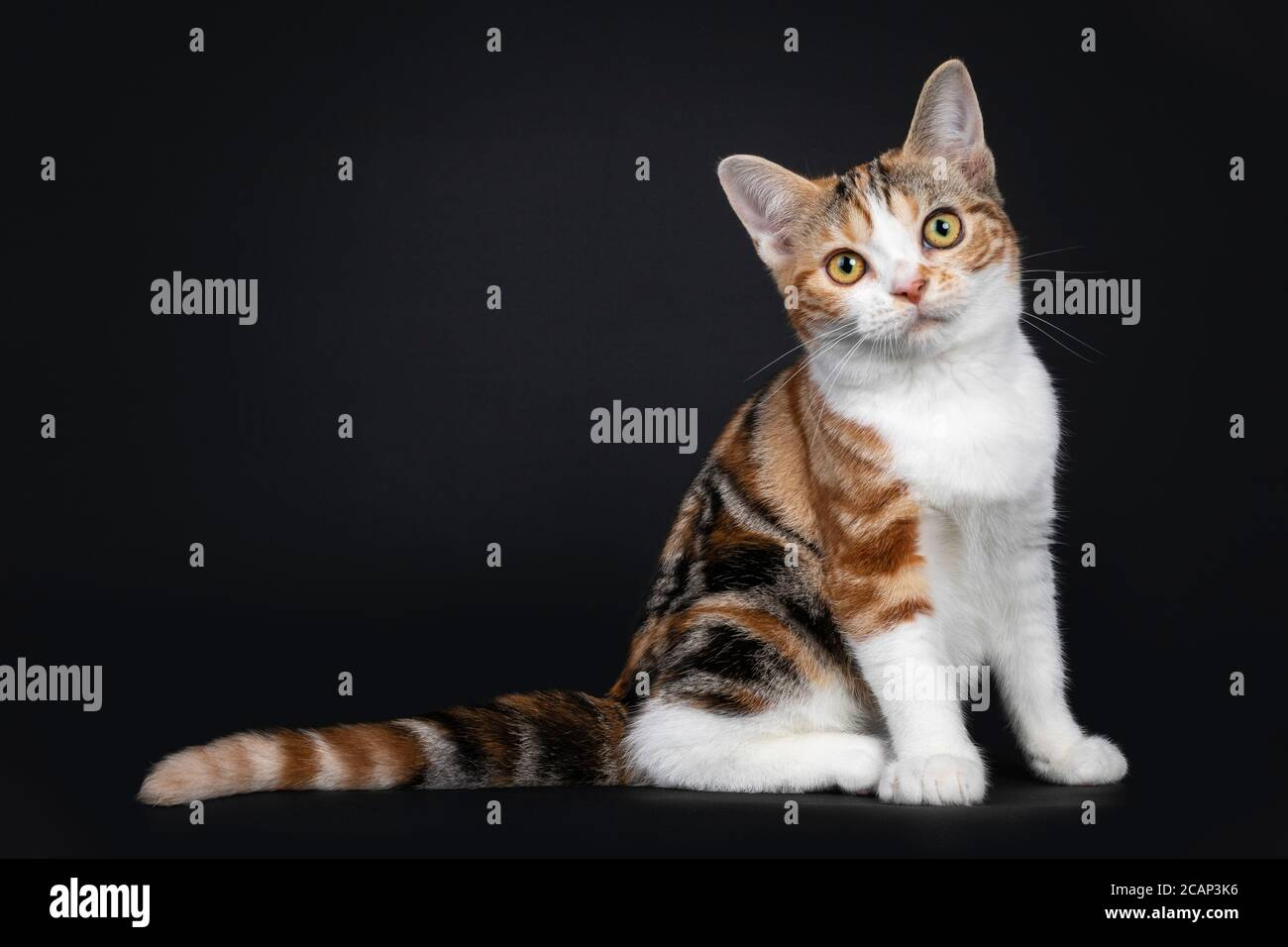 Pretty American Shorthair cat kitten with amazing pattern, sitting side ways. Looking straight at camera with yellow eyes. Isolated on black backgroun Stock Photo