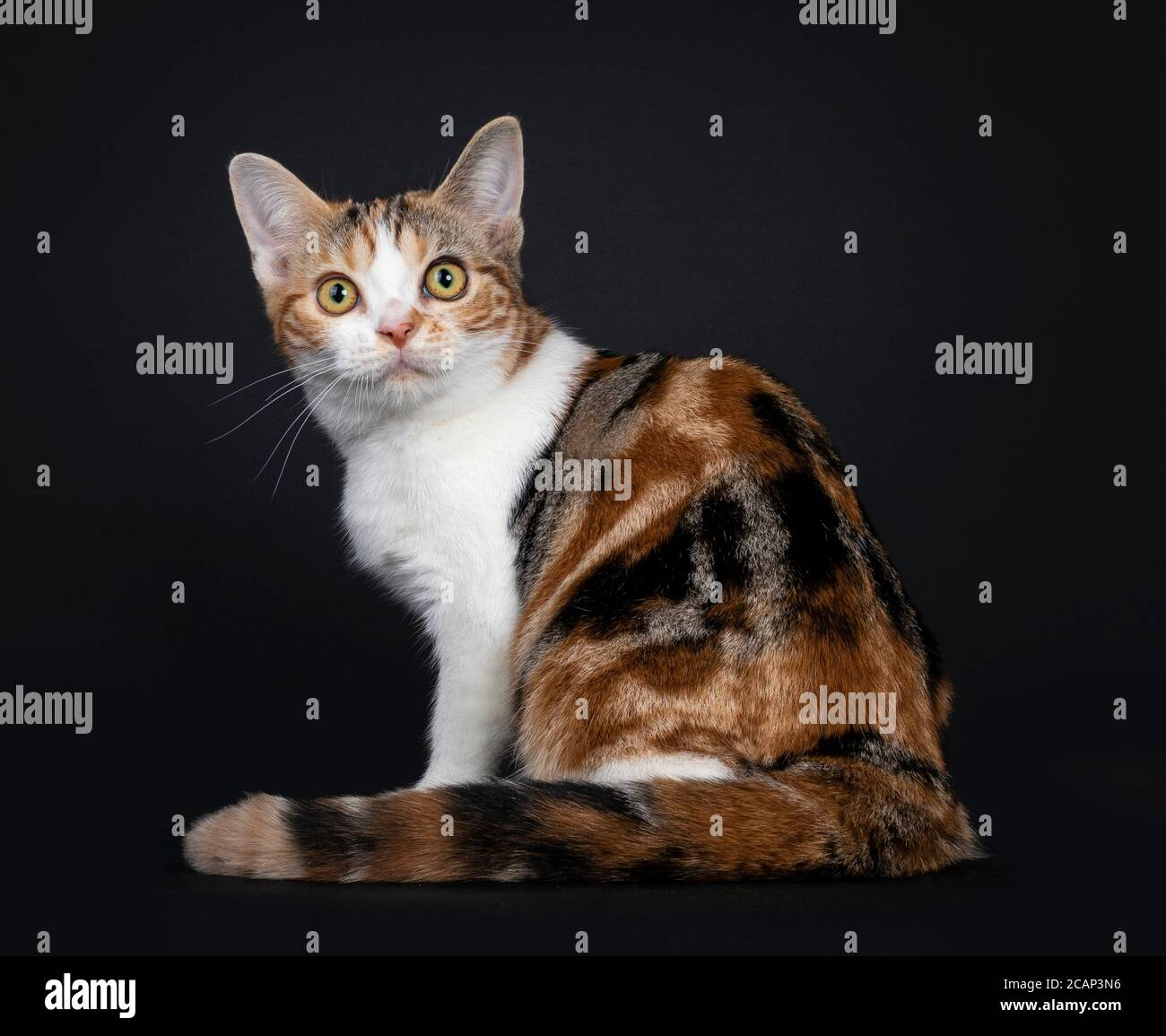 Pretty American Shorthair cat kitten with amazing pattern, sitting backwards. Looking over shoulder straight at camera with yellow eyes. Isolated on b Stock Photo