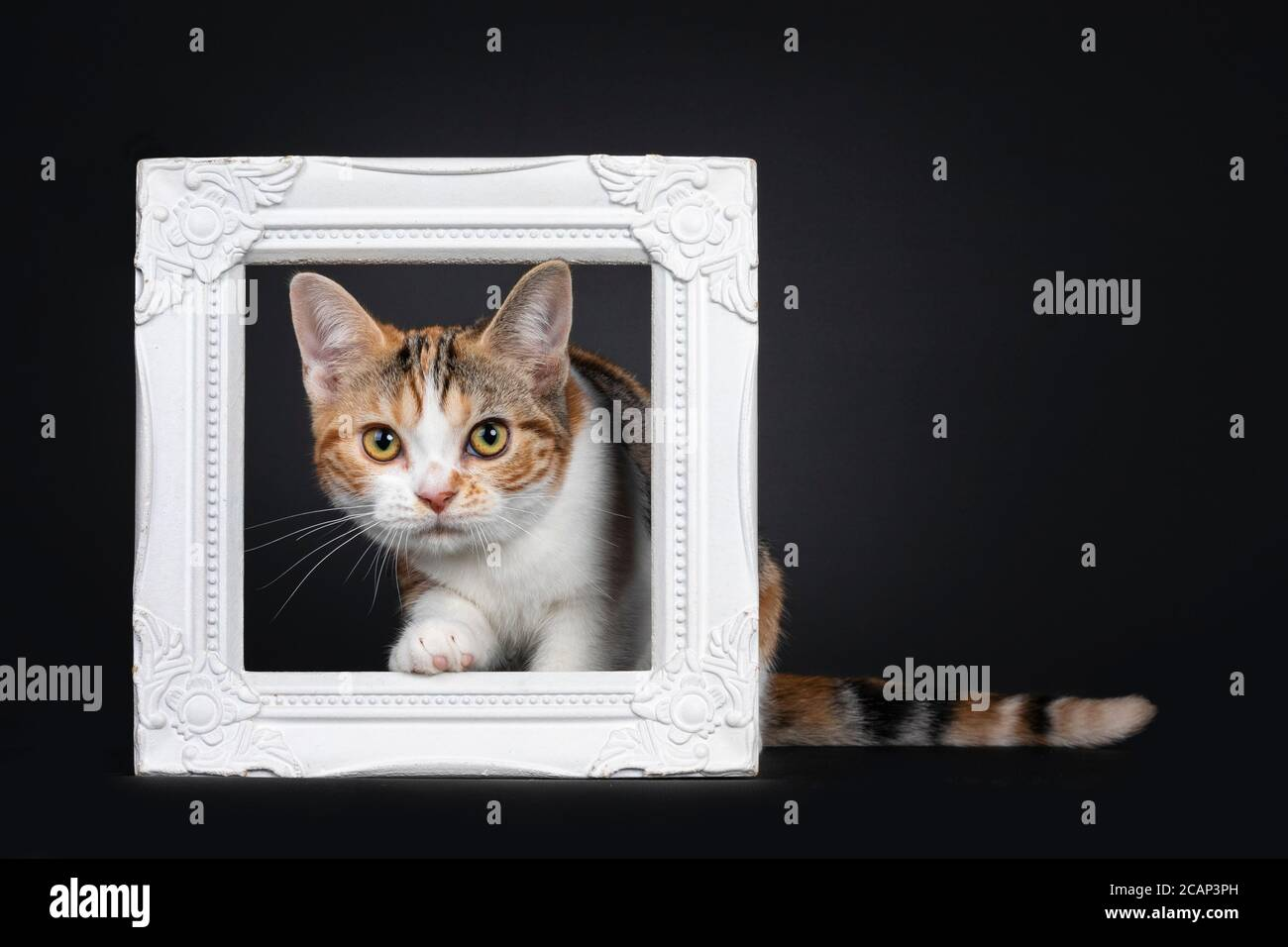 Pretty American Shorthair cat kitten with amazing pattern, stepping through white photo frame. Looking straight at camera with yellow eyes. Isolated o Stock Photo