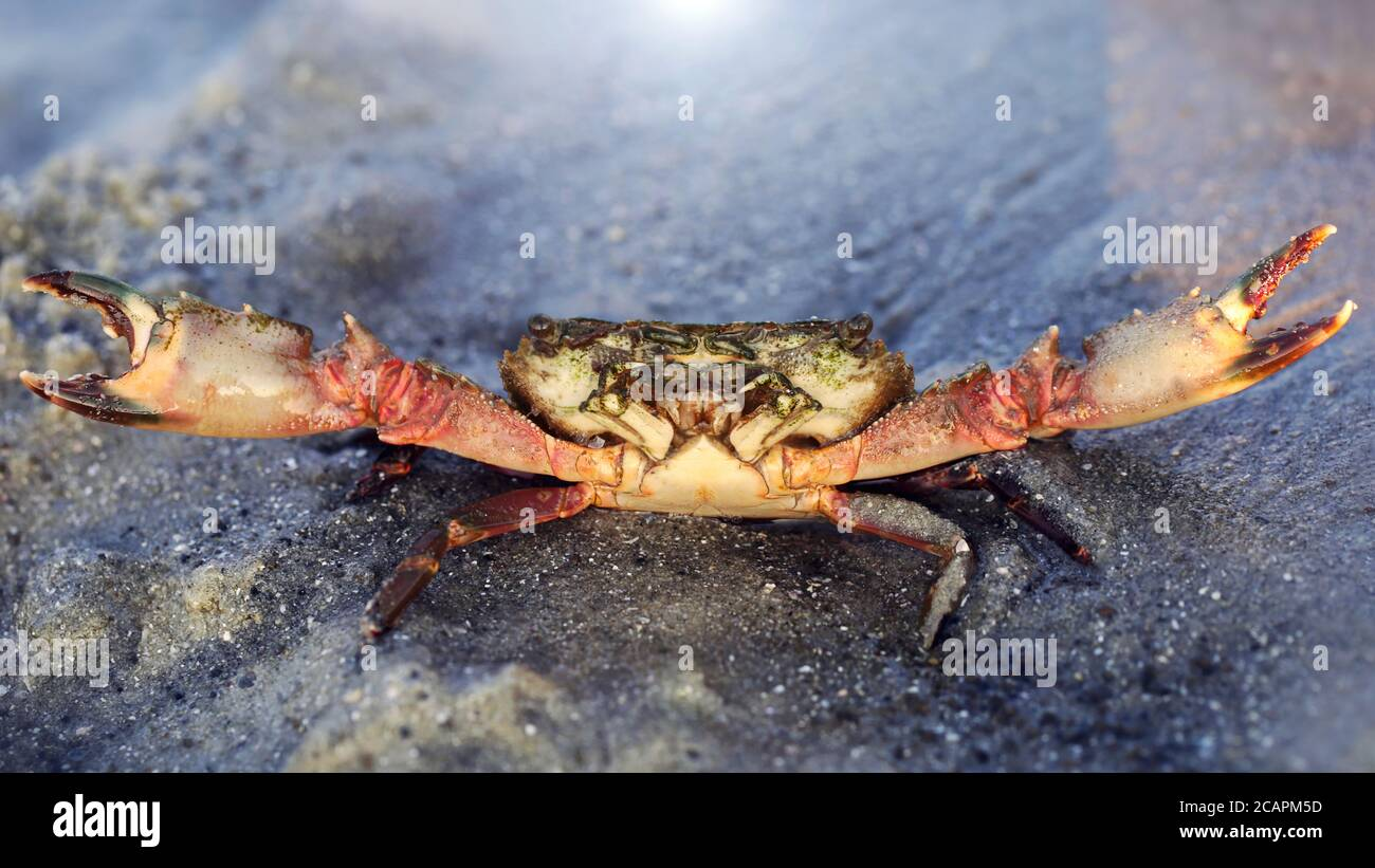red crab with big claws and a strong shell about to fight on the sand, this crustacean is a formidable fighter. macro photo of the sea life on a beach Stock Photo